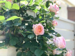 モデルガーデンの薔薇